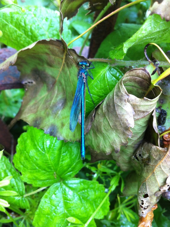 June 2012-Dragon fly caught on iphone camera!