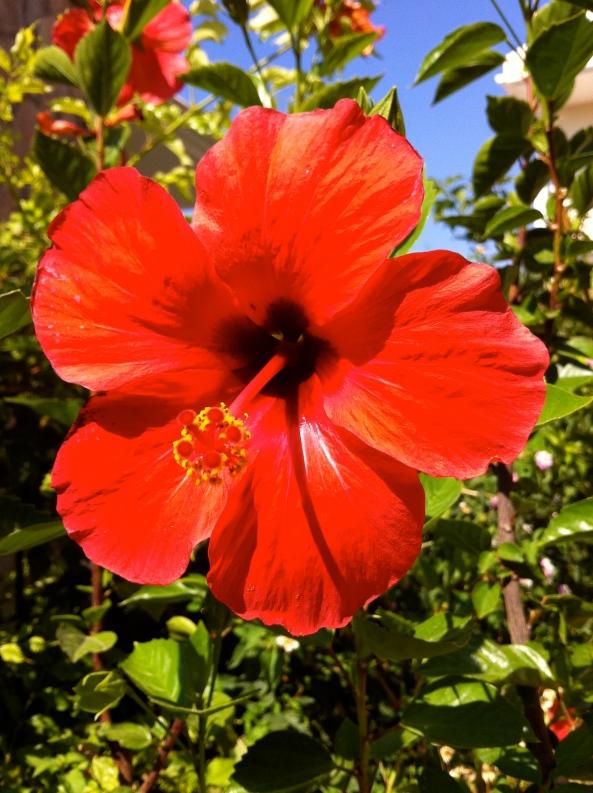 Hibiscus brightus reddicus!