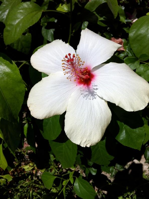 Hibiscus brightus white-icus!