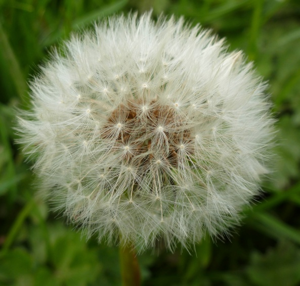 May 2012_It was a good year for dandelions-are they too beautiful to be weeds?