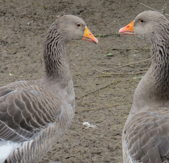 Gertie and Graham Greylag knew that if they practised enough, they could make that romantic heart shape with their head and necks like the swans down at the river did!