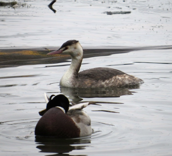"""""""Hey Geraint,"""" quacked Des, """"Put your head under your wing like me... that'll spoil her shot!"""""""