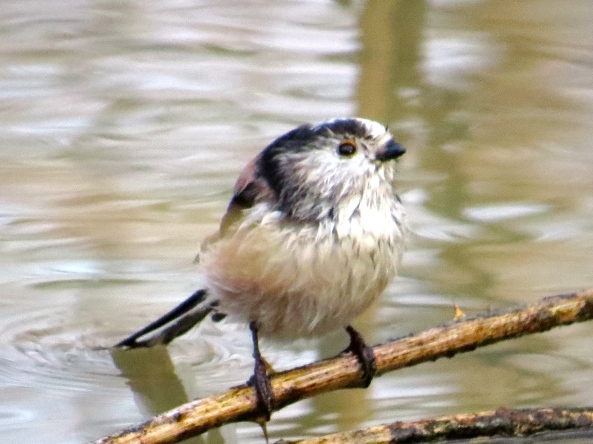 """If my tail were shorter, then it wouldn't always drag in the water, but then I wouldn't live up to my 'Long Tail Tit' name....ah well!"" sighed Lenin in an accepting things kind of way!"