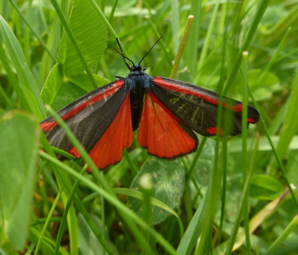 June 2012-Wow...Cinnabar Moth
