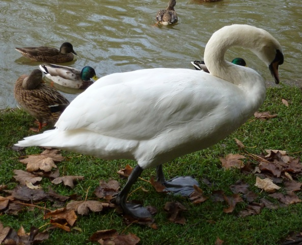 """Ducks...listen to me...ignore mad camera woman and she'll soon go away!"" hissed Suzuki Swan!"