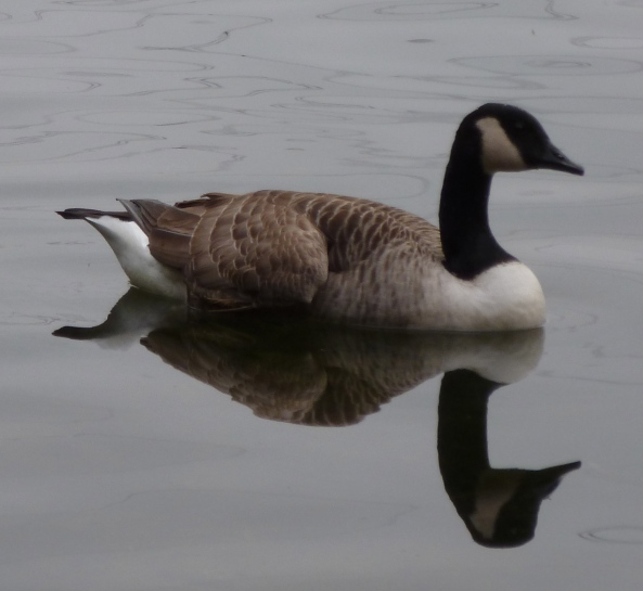 Gilliam Goose loved it when the water was calm and serene and his reflection was as perfect as he was!
