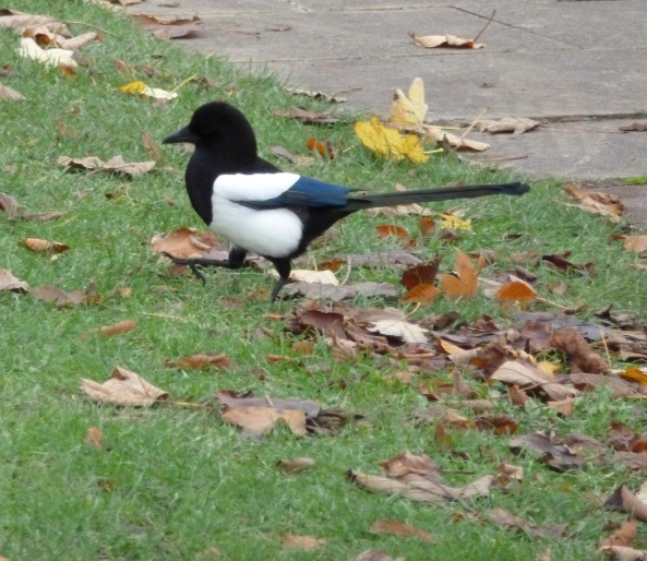 Millicent Magpie responded joyfully to the news of the award with a victory dance :)