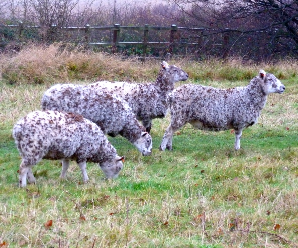 """Resist the urge to stare like we usually do...Ewes, eyes forward....copy me!"" baa-ed Shirley!"