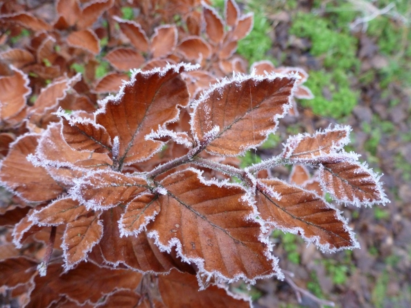 December 2012-Beech leaves with very cold edges!