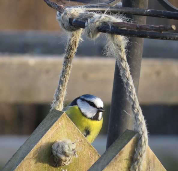 Bigalloo Blue Tit arrived early at the Bird Gym and felt a rush of confidence coursing through his body as he anticipated the forthcoming Tit competition!