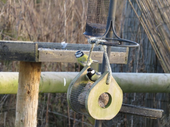 Colis Coal Tit joined Blue Tit and they stalwartly ignored each other for 2 minutes!