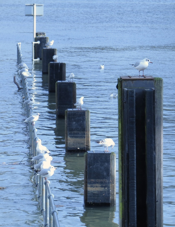 The gulls maintained a strict pecking order over who perched where!Today Gandalf got the best position!