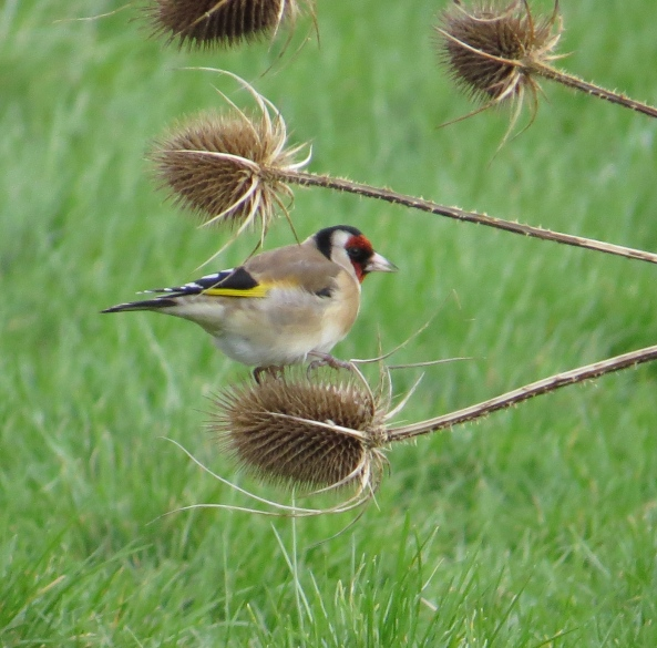 """Don't ask me how I endure these prickles,"" said Grinstead Goldfinch, ""Just hurry up and take the photo!"""