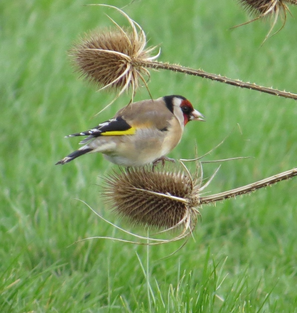 """""""What's that? There's better teasels over there? That's it then....I'm off!"""" whistled Grinstead and he flew to the next eating spot!"""