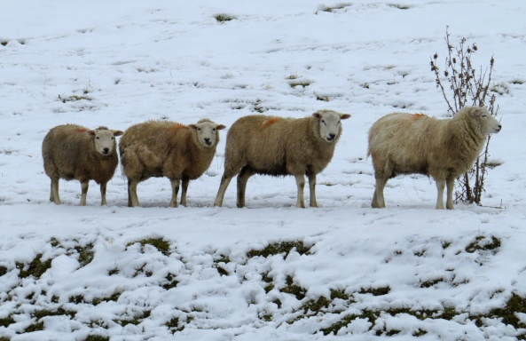 The gang of 4 quietly chewed the cud not realising that the spray paint had spilled out onto their fleeces! Sadly, as could be said to be proved in this case, sheep are thought to maybe be colour blind!