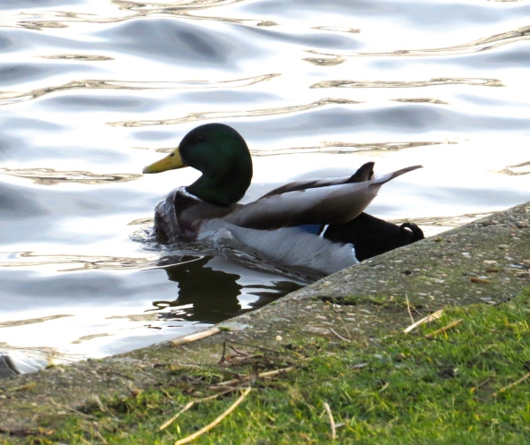 I'm not sure but Dave Duck with the watery chest seems in hot pursuit too!