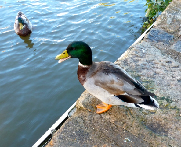 Derwent Duck knew that the woman with the camera usually took wildfowl photos and when he realised everyone was safe from her snapping, he spread the word as fast as he could!