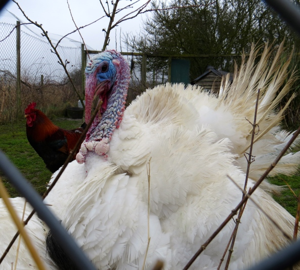 """Lady turkey wife come thither and avert your eyes...I, Tanundra, am the only mate for you!"" said Tanundra tersely!"