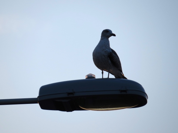 Gulliver Gull watched....