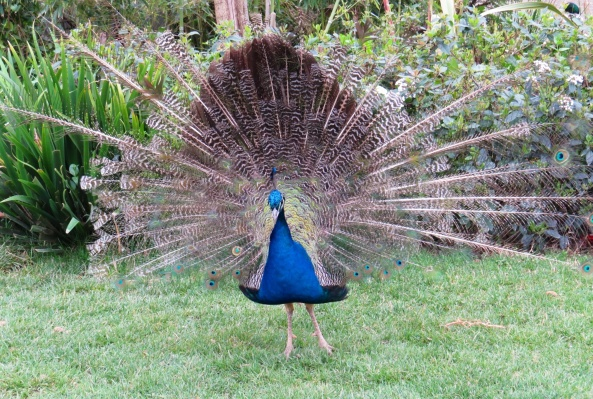 Podney Peacock just decided to 'go for it'!