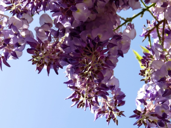 Wisteria on the upward look!