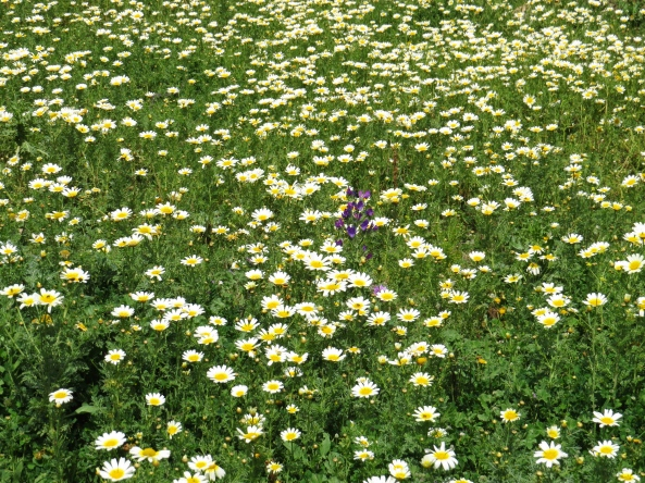 Field of dear daisies with a little purple visitor!