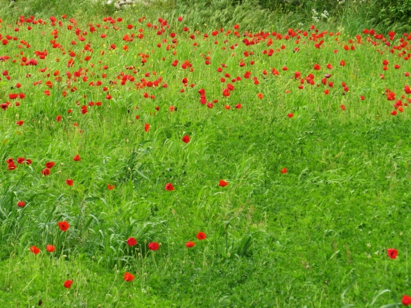 Field of poppies that I tried to upload yesterday only to find I had run out of space.....one upgrade later and here they are!