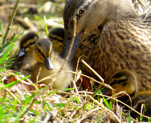 """Listen ducklings...we're going to stay here for a minute, but if that weird looking creature over there with no wings comes any closer....we're gonna leg it....ok?"" said Darling under her breath so as not to upset the creature that she spoke of!"