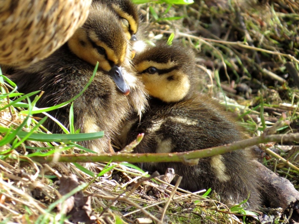 """It's all very well staying here huddled together like this,"" said Diana Duckling, ""But why does mother have to sit on us?"""