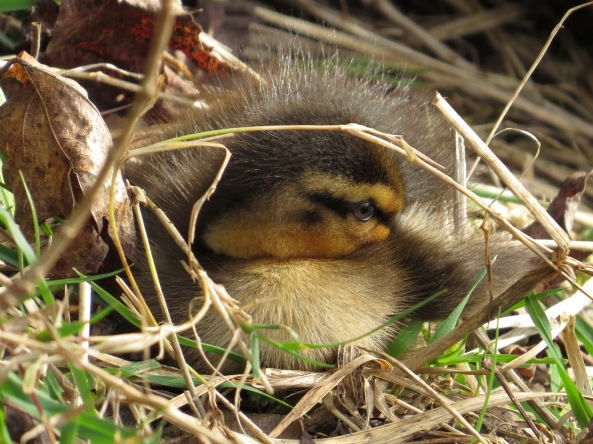 """""""I'm keeping well out of the way but keeping my eye on the situation!"""" said Diddly Duckling who had an old head on young shoulders!"""