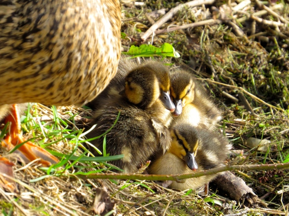 """Oh thank goodness, mother has got off and we can breathe again!"" said the ducklings as one!"