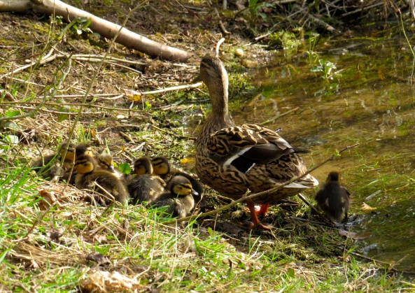 """That's it!"" quacked  Darling, ""she's stepped just a little too close....ducklings....move!"""