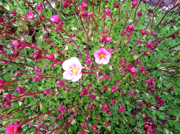 """""""I'm first, I'm first!"""" shouted Saffy Saxifrage. """"Damn it....pipped to the post again!"""" said Sylvia most disappointed as she had thought she would be the first to bloom heavenwards this year!"""