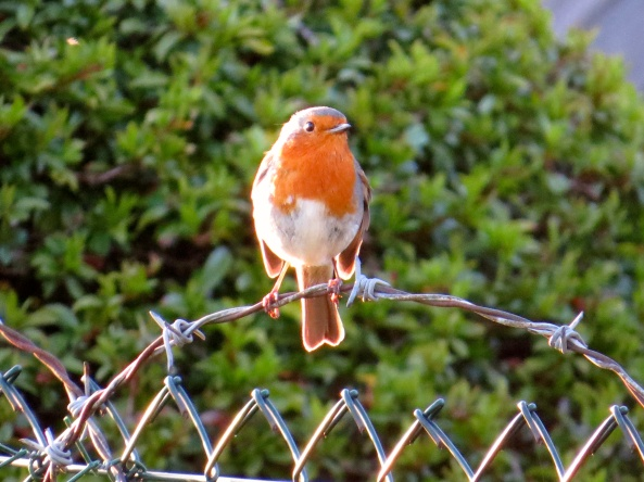 In the UK we used to have an advert for porridge that said that if you ate 'Ready Brek' porridge you would develop this warm aura glow around you which would keep you warm for the day...I wonder what this little robin had for his breakfast!!