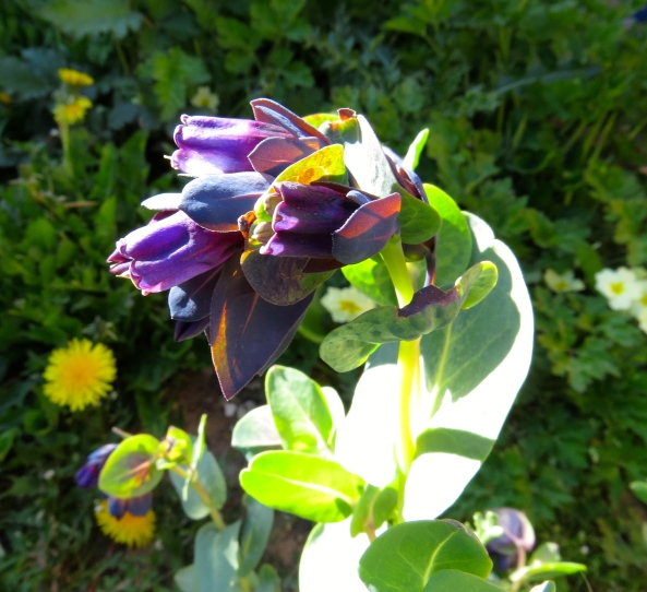 """Blue Shrimp Plant? I prefer the title Cerinthe Kiwi Blue if you don't mind!"" said Honey to the title of the blog!"