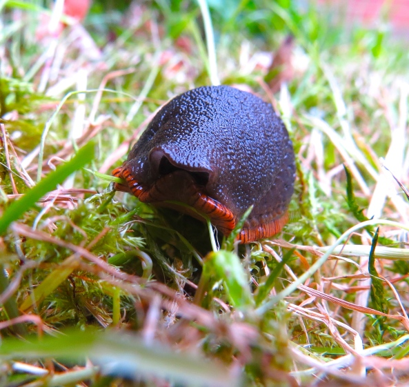 """""""I can't see photographer....ergo....photographer can't see me!"""" said Saul Slug in a mess of incoherent logic!"""