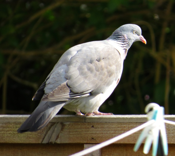 ...And Picardy Pigeon!