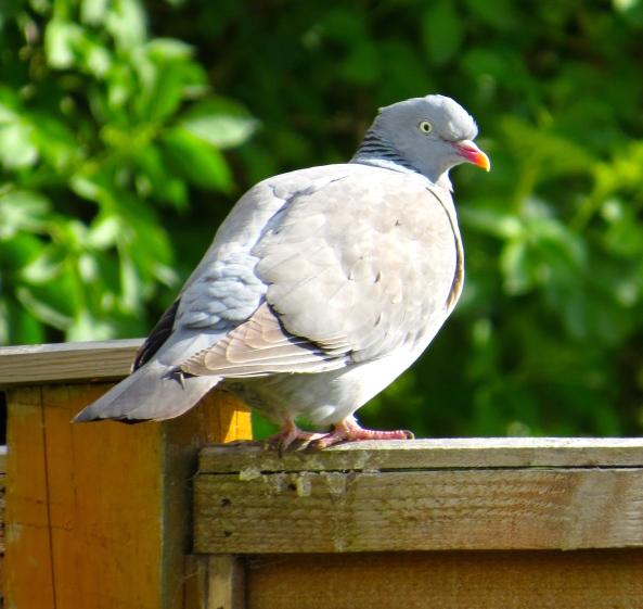Meet Peony Pigeon!