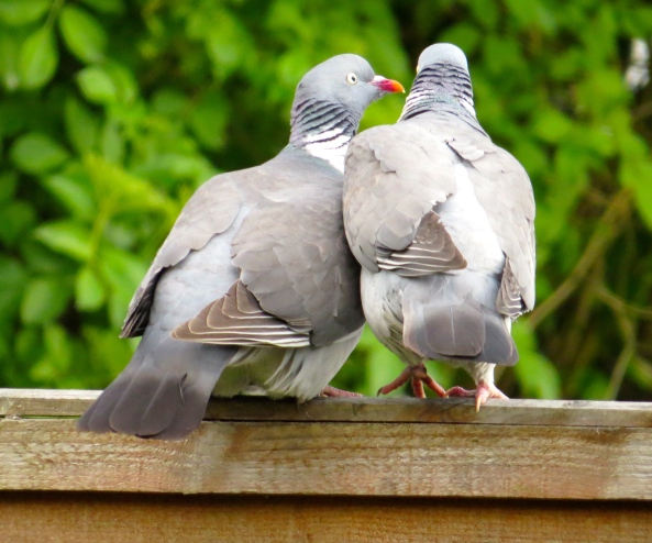 Peony (the one on the left) looks adoringly at Picardy whilst whispering pigeon sweet nothings in his ear!