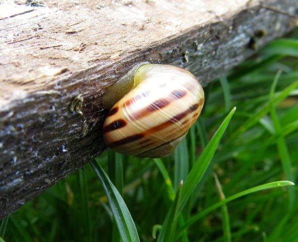 This chap is a 'yellow white-lipped snail'!