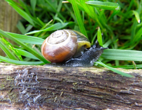 """This green blade o' grass is no match for me!"" said Bouncer Brown Garden Snail bravely."