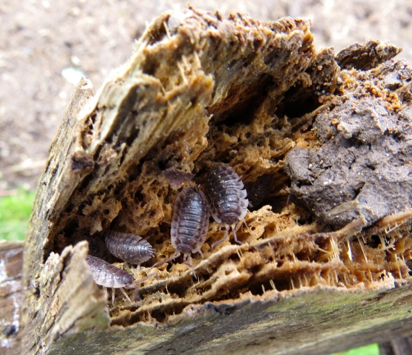 Woodlice in some of the rotten bits of wood that is only just holding together!