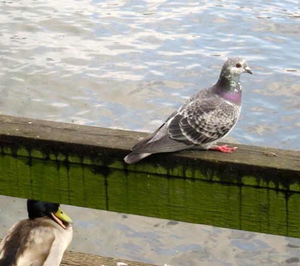 Pigeon is pretty but look at the duck underneath-strange angle of beak methinks!