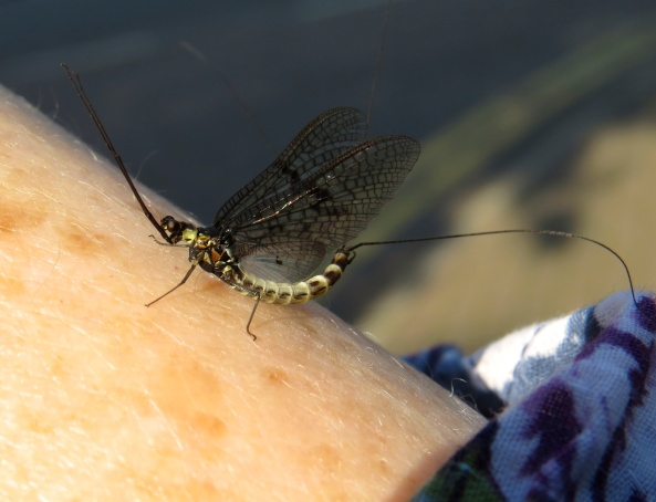 Now he really is a boy, Morgan Mayfly I think...just look at the length of his arms and the size of his eyes!!