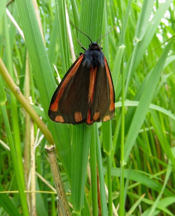 Boy oh boy did Cedric the Cinnabar moth make me run round the allotment after him!!