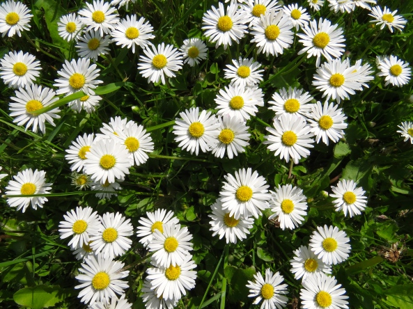 Nothing quite like a daisy.