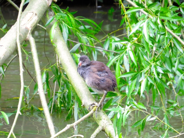 """People are often shocked by my feet, because they are very large. But here on the canal they help me hold on to a tree when faced with a barge!"" sang Marcus Moorhen gustily!"