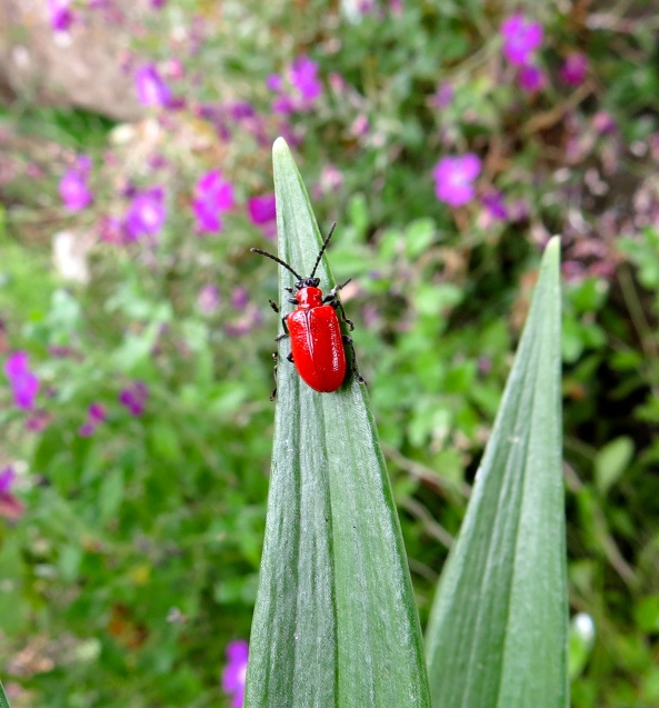 Ah little red beetle!
