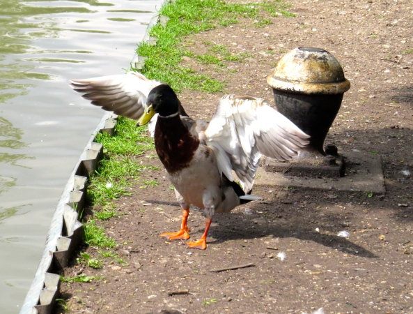 The Right Reverende Duck managed to dodge past Dark Duck Dave and got to the other side of the canal. Sadly it seemed he hadn't learned any lessons and certainly didn't understand that he needed to update his thinking and perhaps allow people to behave as they thought best!