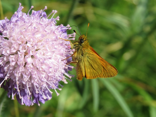 Apparently this is a Small Skipper who also goes by the name 'Thymelicus Sylvestris' or Sylvester to his friends!